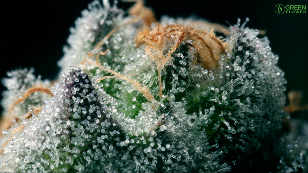 magnified view of cannabis terpenes on a live plant