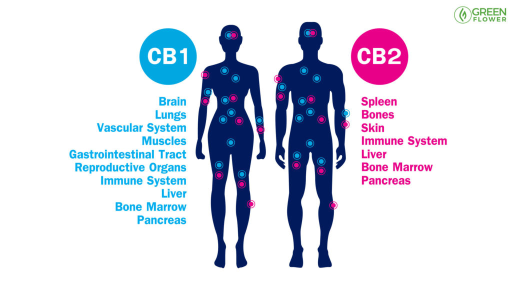 CB1 CB2 receptor sites making up endocannabinoid system