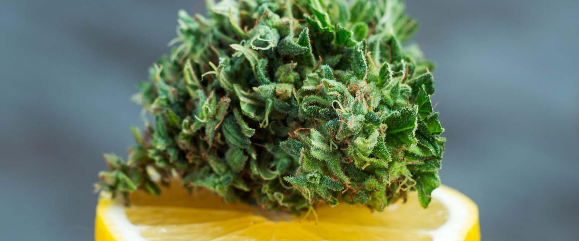 cannabis flower over lemon