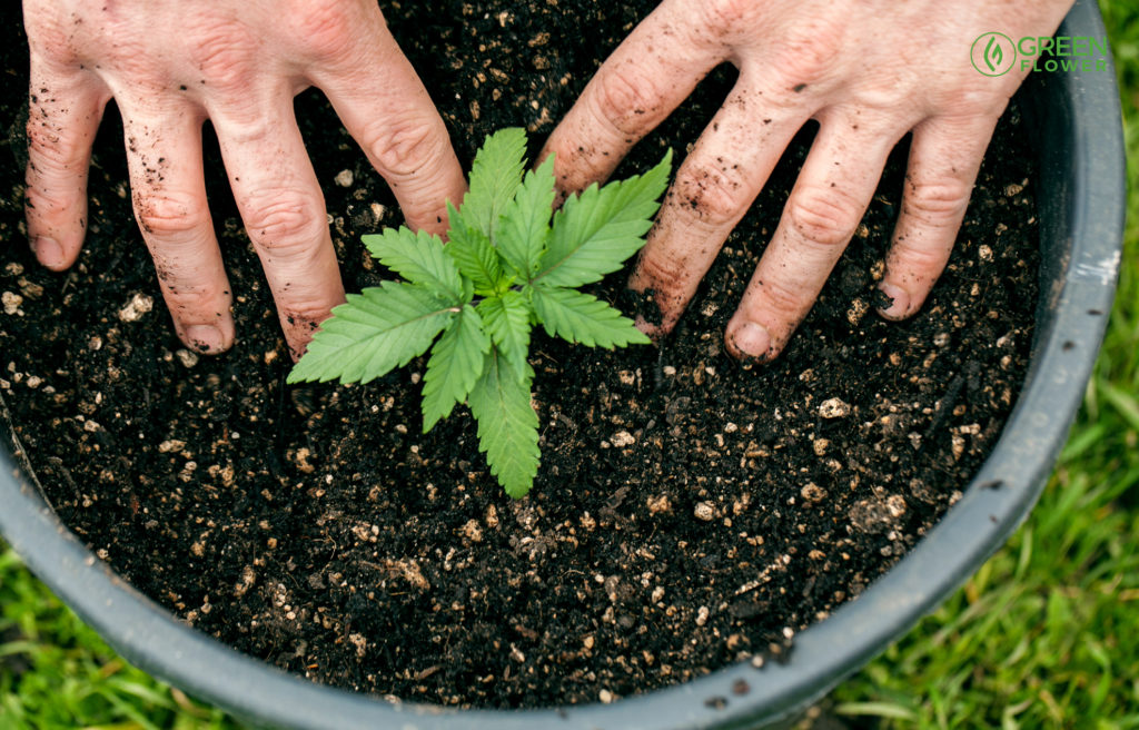 hands in the dirt with a young cannabis plant in a pot