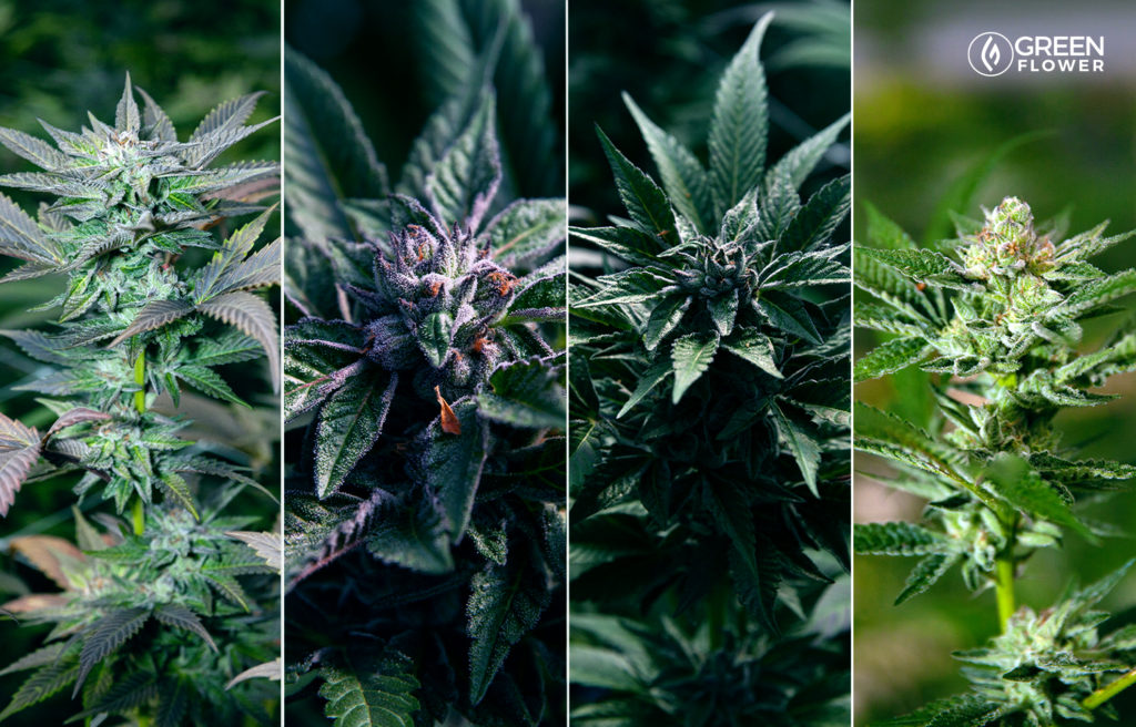 4 live cannabis plants with flowers