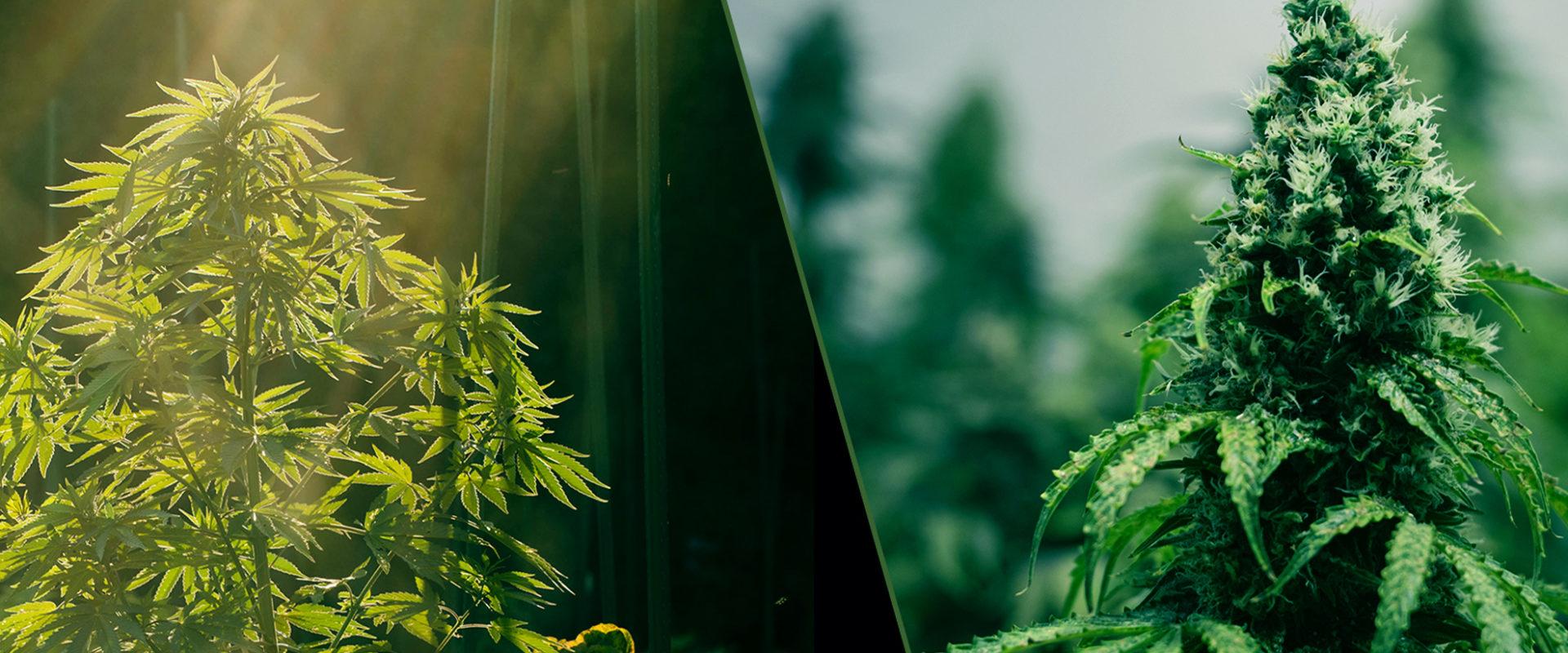 indoor and outdoor cannabis plants