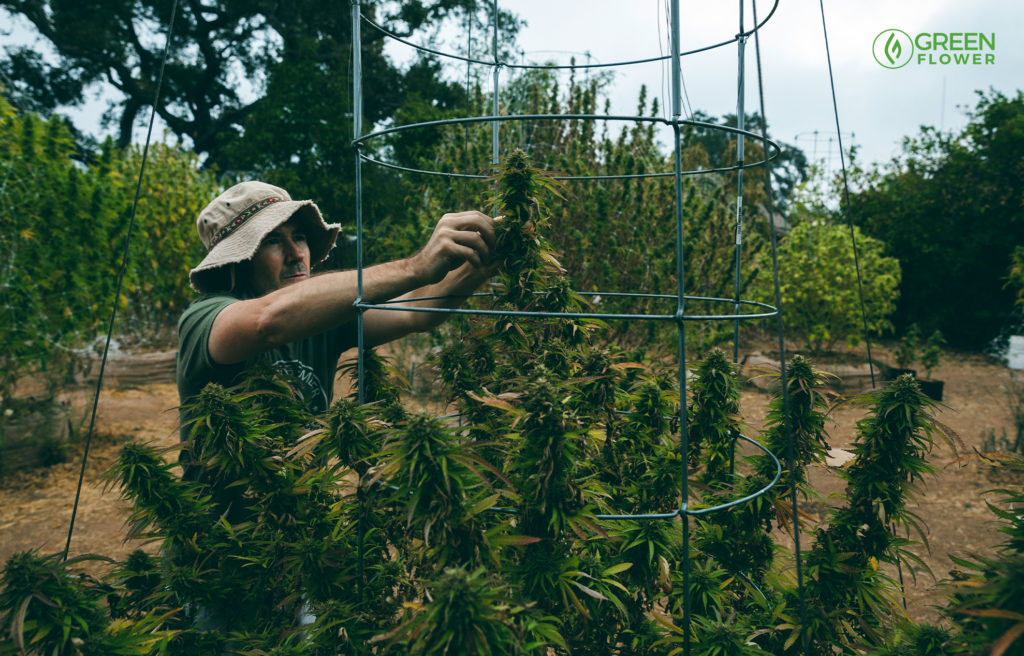 growing cannabis outdoors bracing your plants to keep them up