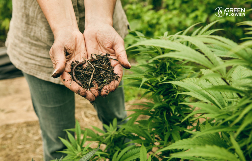 woman holding cannabis garden soil with worms