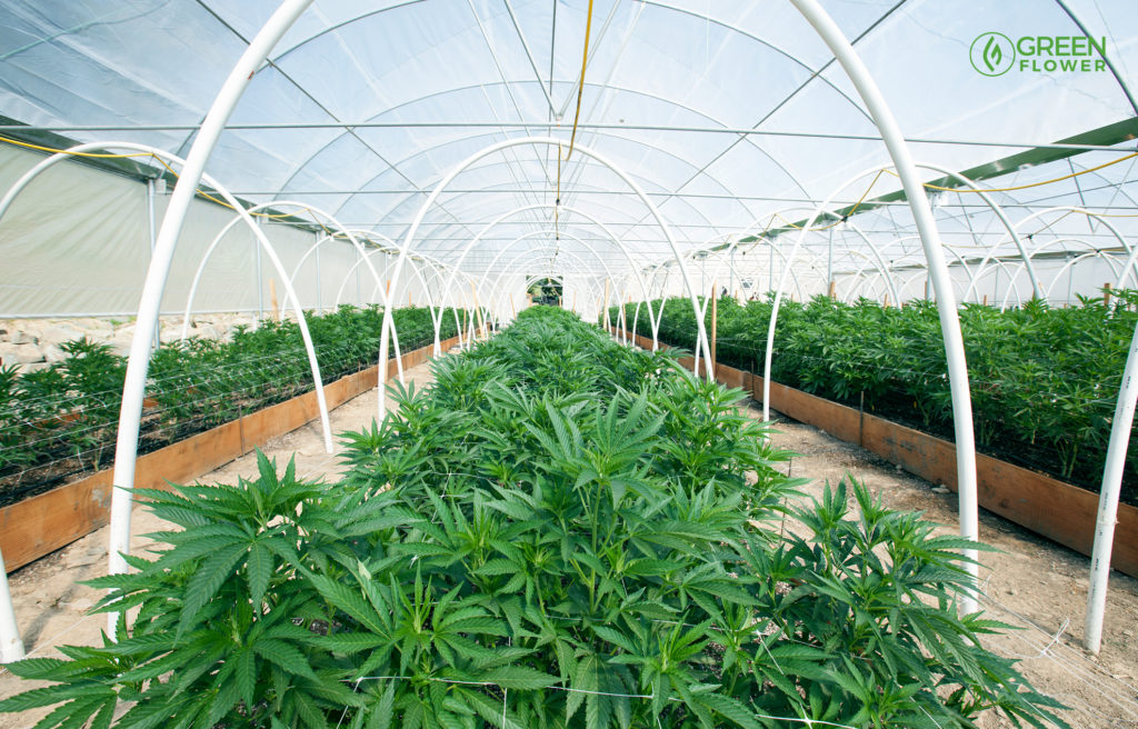 growing cannabis outdoors with a greenhouse