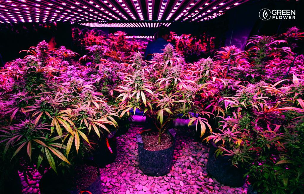 indoor cannabis grow lights